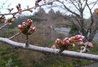 Sakuratubomi