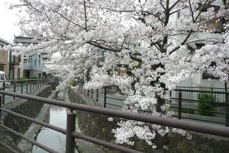 Sakurakawasaki1