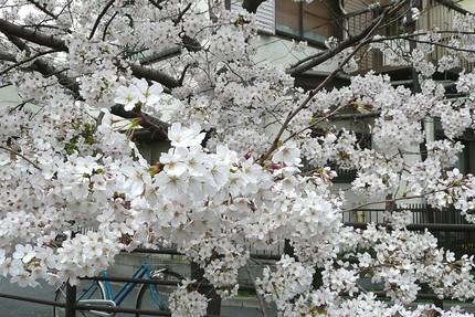Sakurakawasaki2