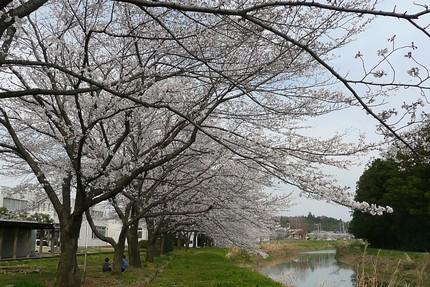 Sakura4021
