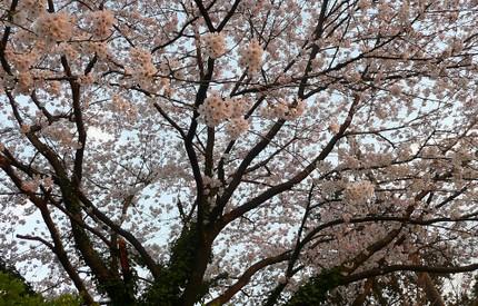 Sakura4032