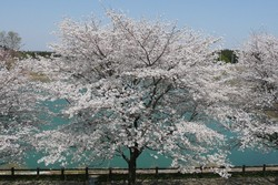 Sakura4042