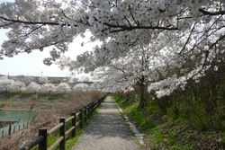 Sakura4043
