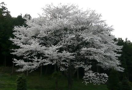 Sakura406_2