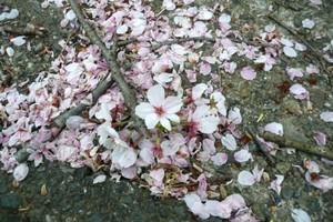 Sakura4092