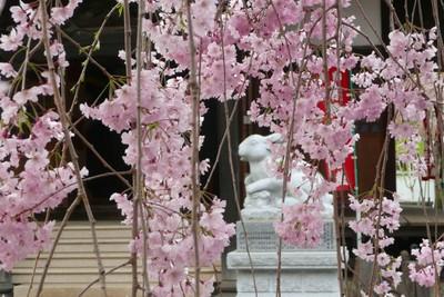 Sakura412