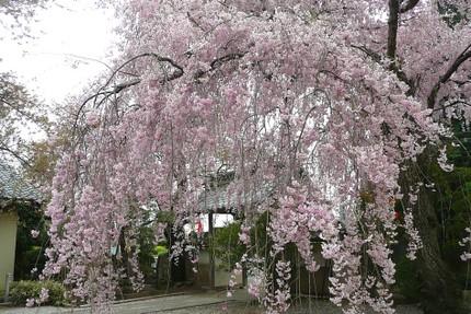 Sakura4122