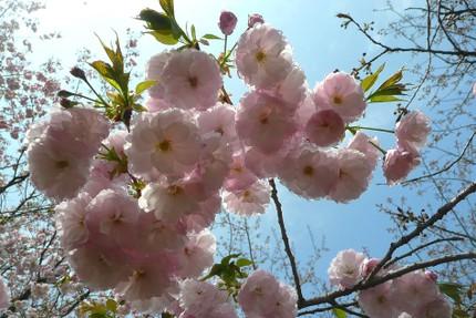 Sakura4141