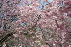 Sakura4142
