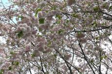 Sakura4143