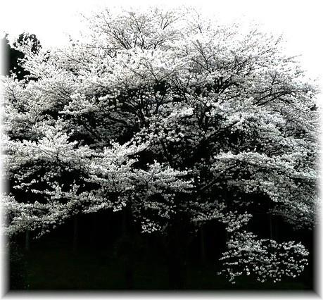 Sakura46