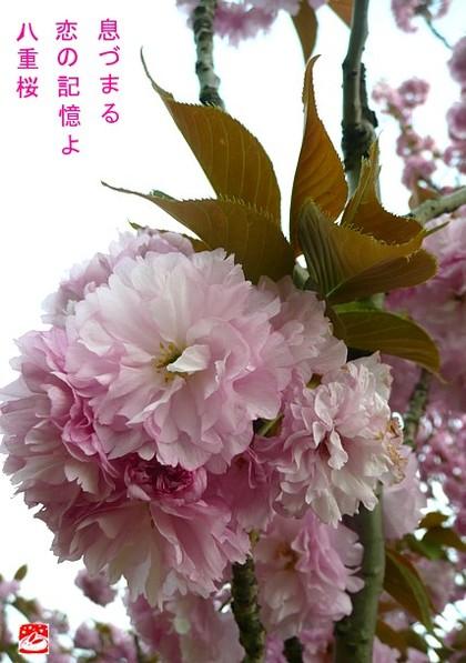 Yaezakura2