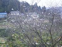 Sikizakura06