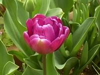 Tulip06_1