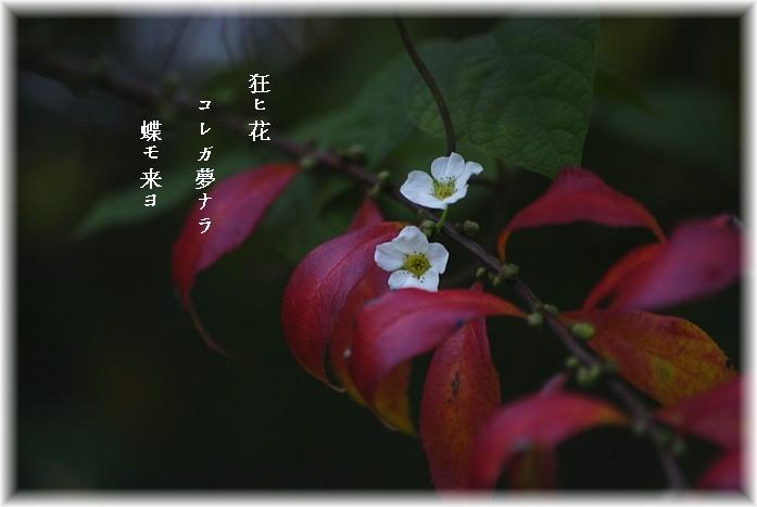 Kuruibana2