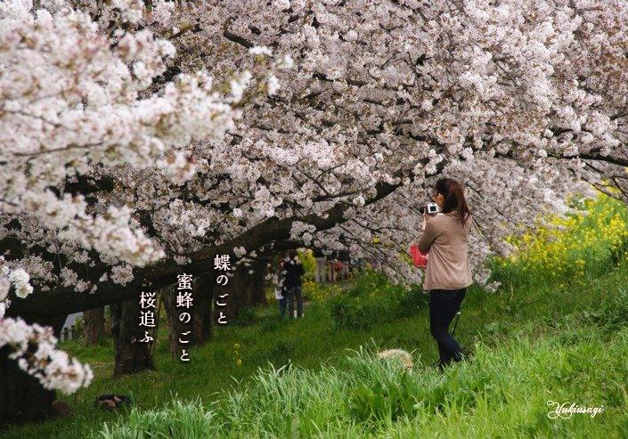 Sakuraoumoji