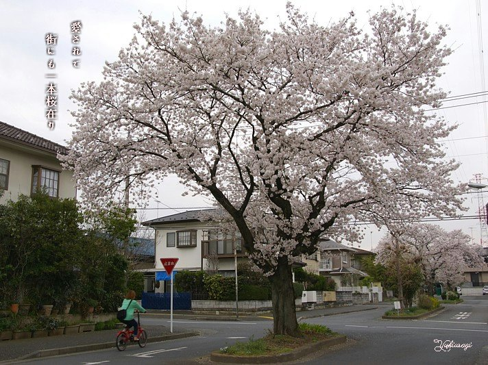 Matisakuramoji_2