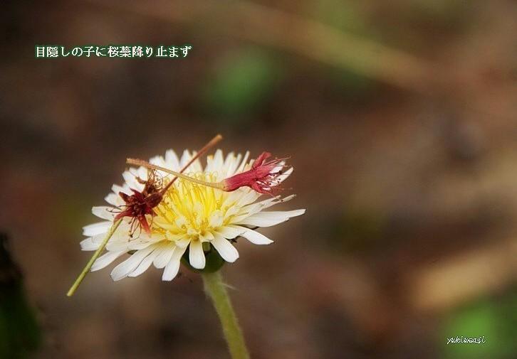 Sakurasibehosei