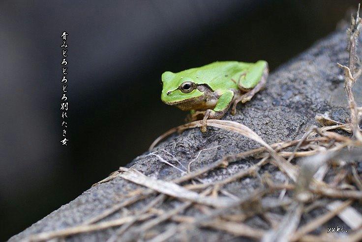 Aomidoromoji