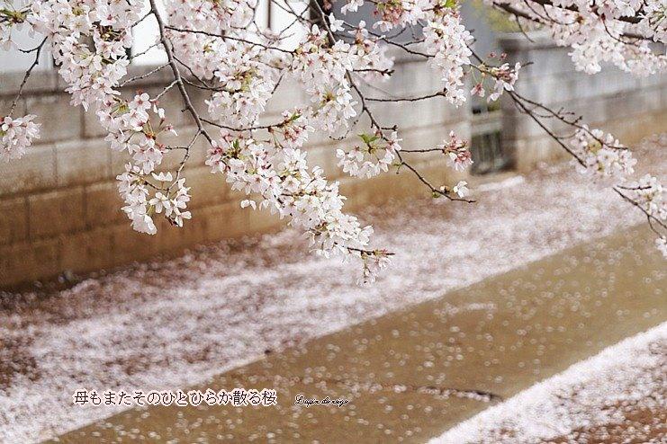 Sakura48dhoseimoji